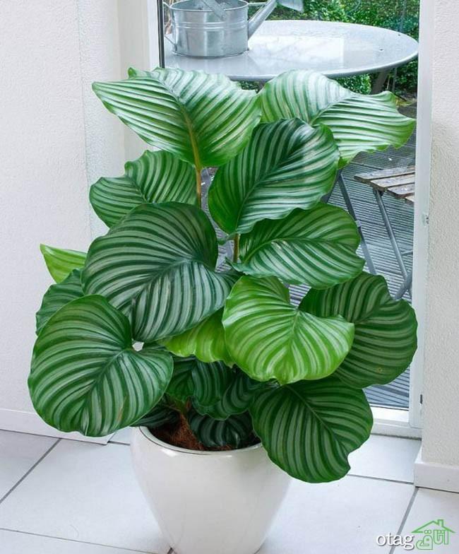 گیاهان-آپارتمانی-مقاوم (11)