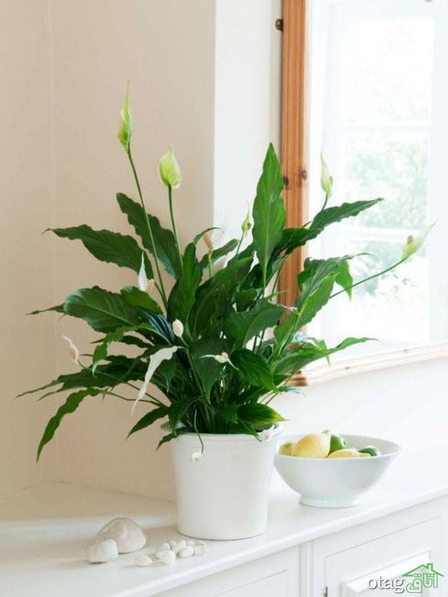 گیاهان-آپارتمانی-مقاوم (20)