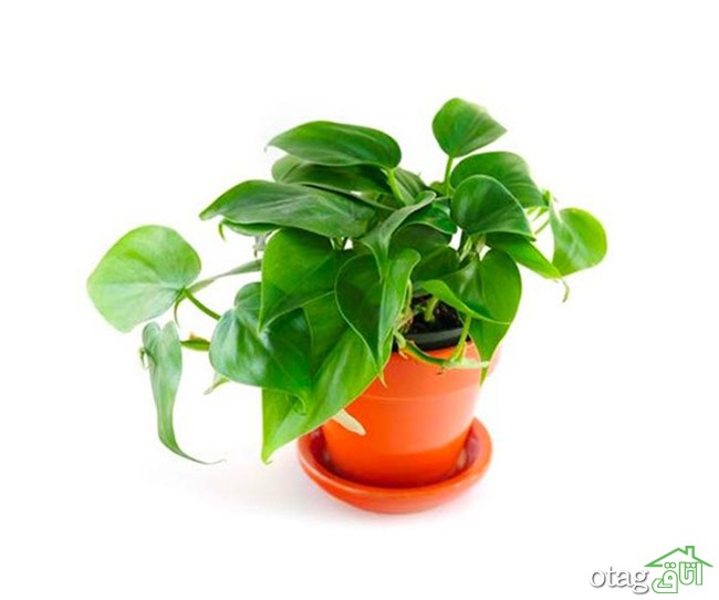 گیاهان-آپارتمانی-مقاوم (21)