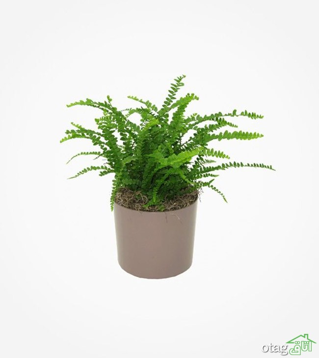 گیاهان-آپارتمانی-مقاوم (26)