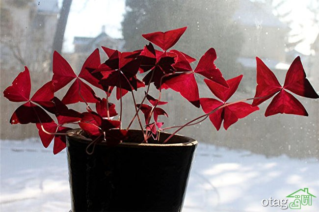 گیاهان-آپارتمانی-مقاوم (6)