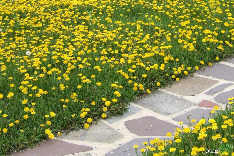 بهترین راه رهایی دائمی و جلوگیری از گسترش قاصدک زرد